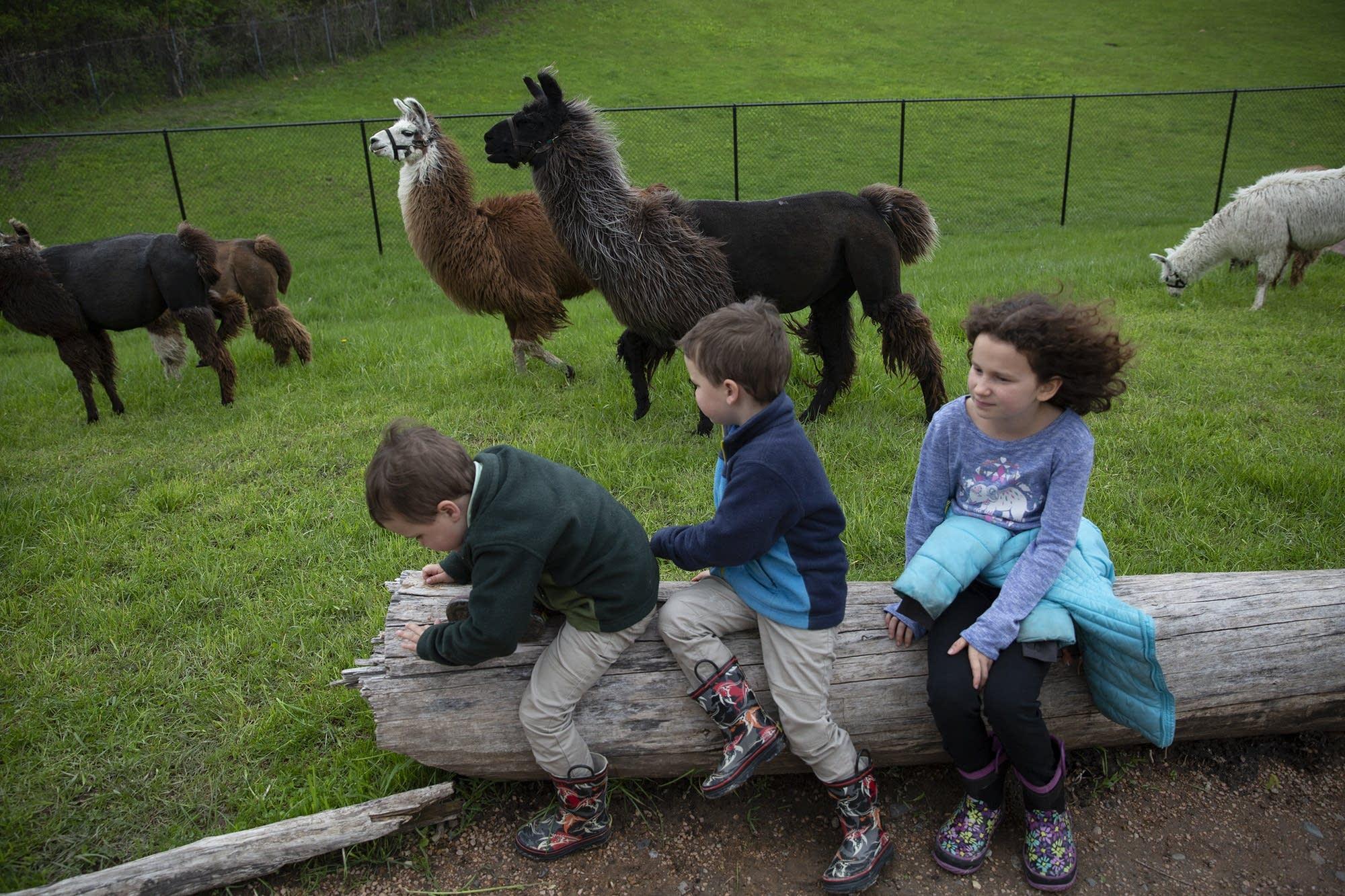 Jude and Jameson Larsen, 4, and their sister Amelia, 9, watch llamas roam.