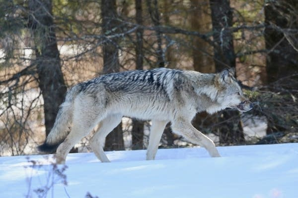 A timber wolf had part of a wire snare wrapped around its muzzle.
