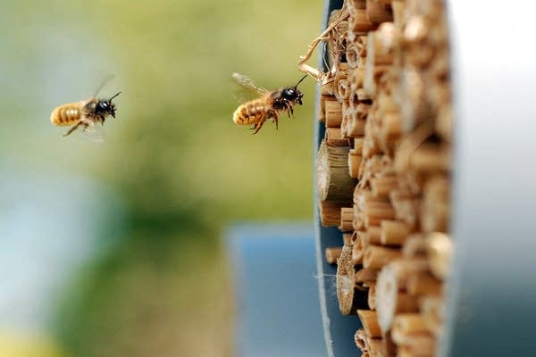 Researchers monitored the health of these wild bees.