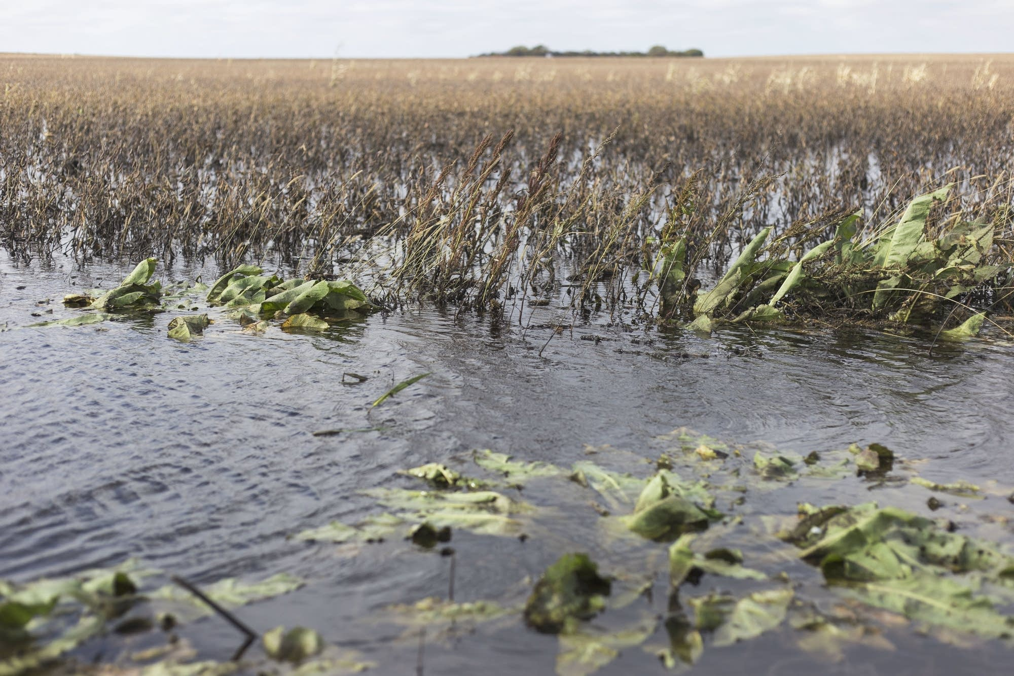 A soybean field is flooded on Thursday in Buffalo Lakes, Minn.