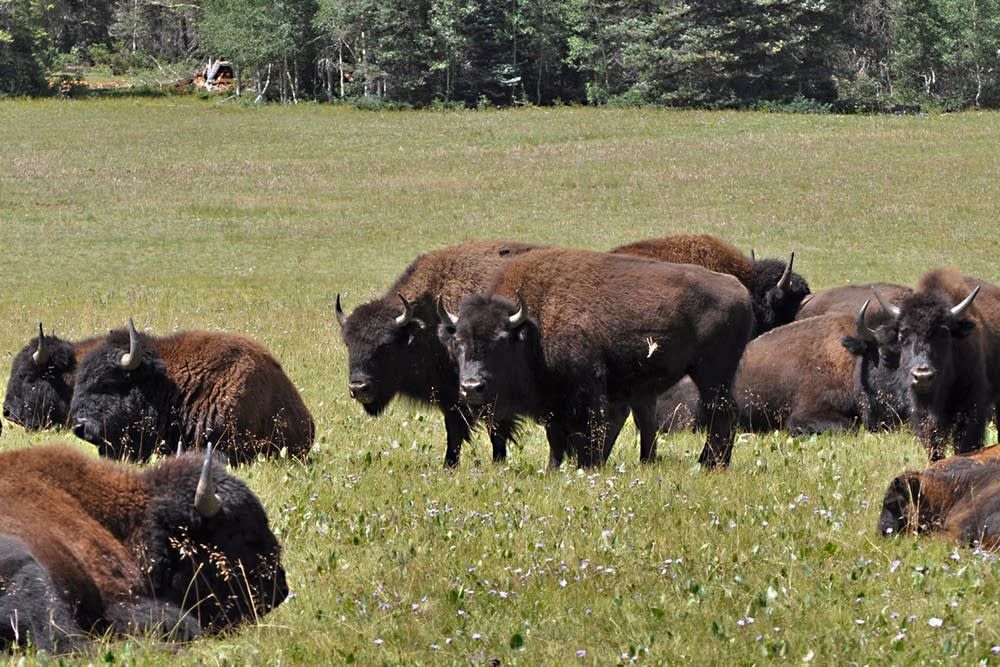 Arizona bison