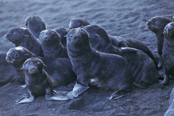 Northern fur seal pups standing on a beach on Bogoslof Island
