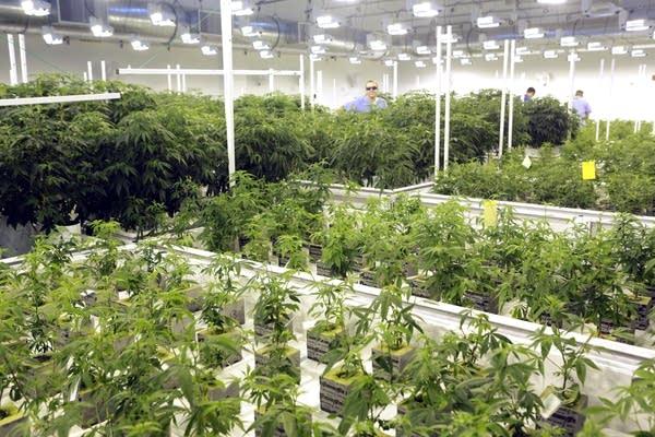Marijuana plants are grown at LeafLine Labs