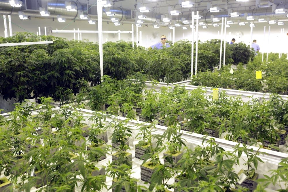 Marijuana plants are grown at LeafLine Labs