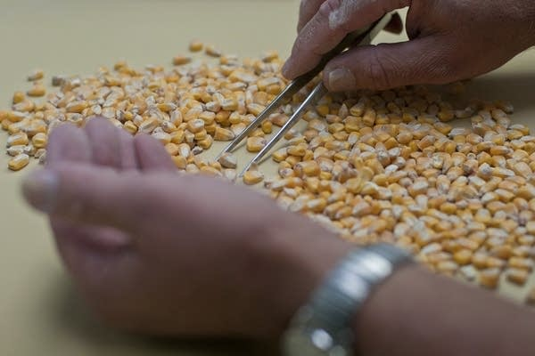 Using tweezers to go through corn samples.
