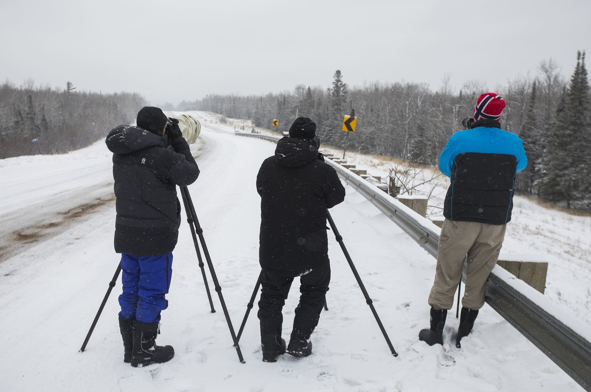 A group of photographers gathered to watch for a great gray owl.