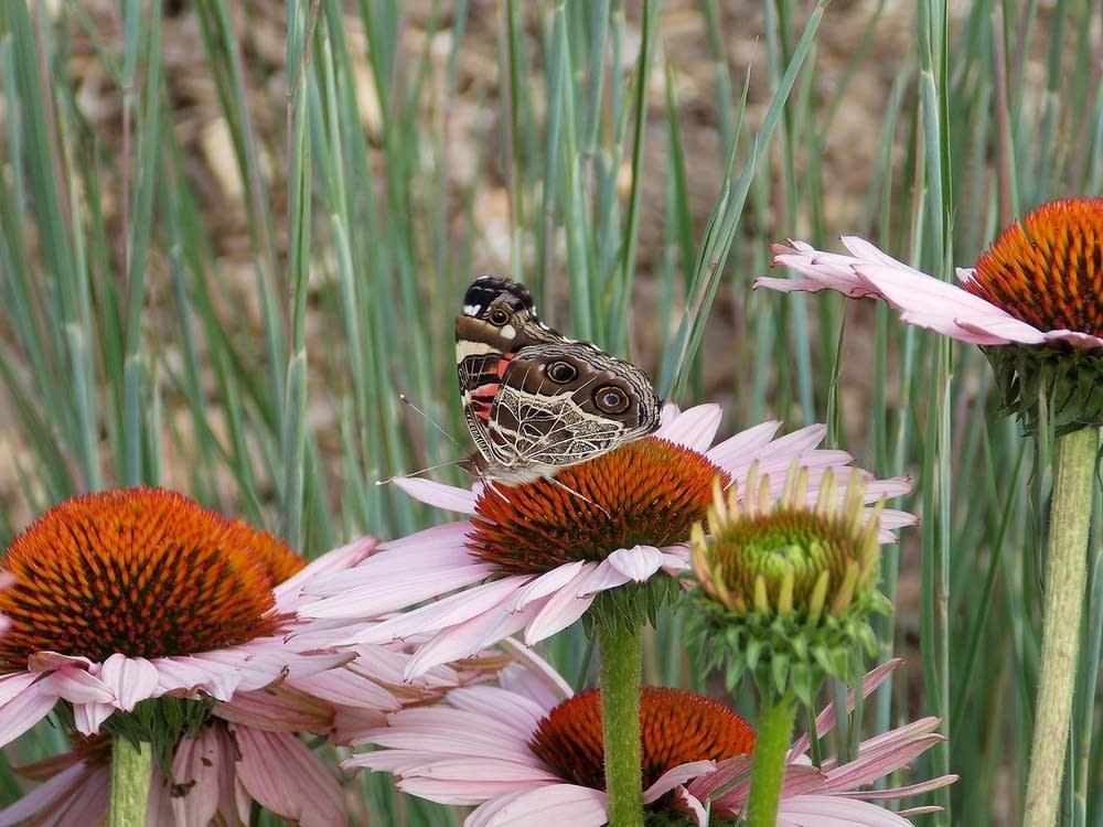 Buckeye butterfly on purple coneflower.