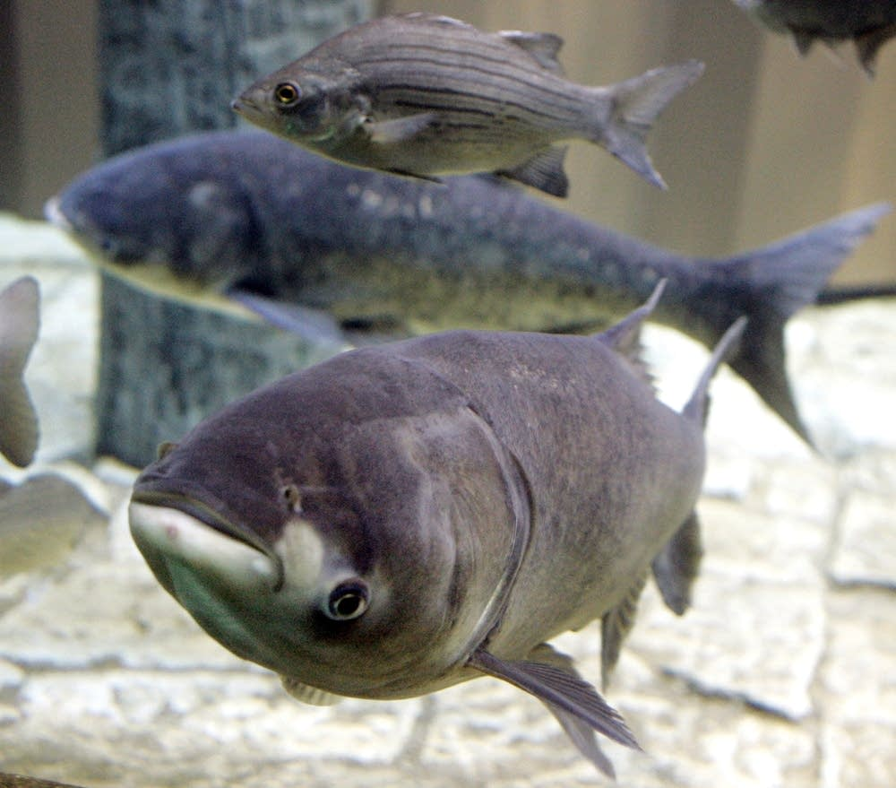 A bighead carp, front, swims in captivity at an aquarium.