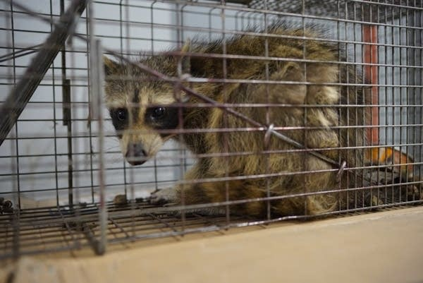 The #mprraccoon was caught in a live trap baited with cat food overnight.