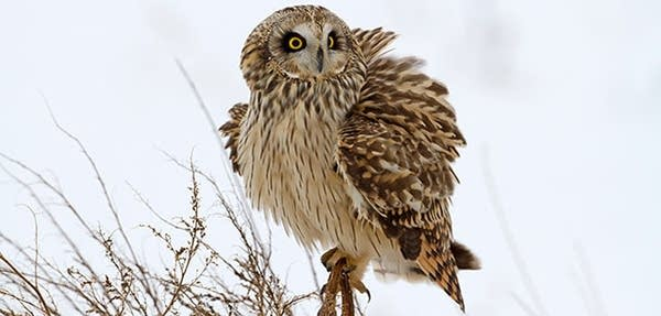 Short-eared owl fluffing its feathers to stay warm.