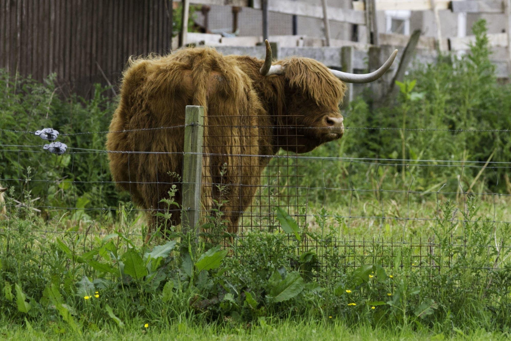 Edinburgh - 21 - Cattle 2
