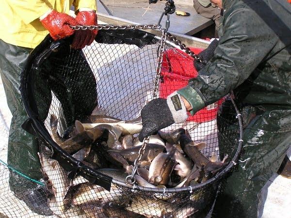 Bucket of walleye