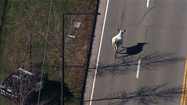 Escaped cow near the fairgrounds