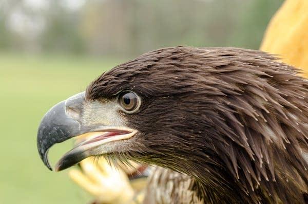 A juvenile bald eagle waits to take flight.