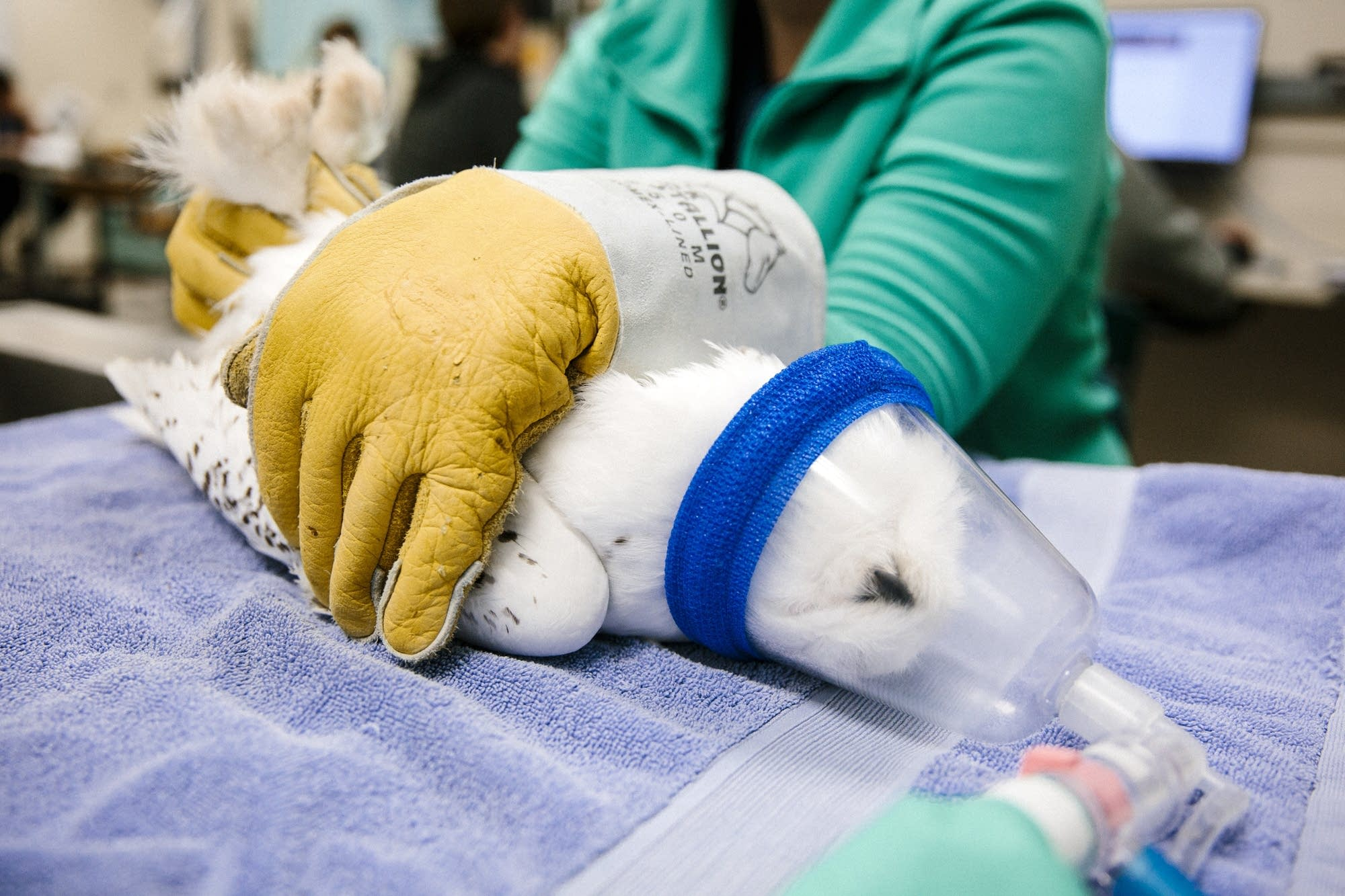 A snowy owl receives anesthesia for a check up.
