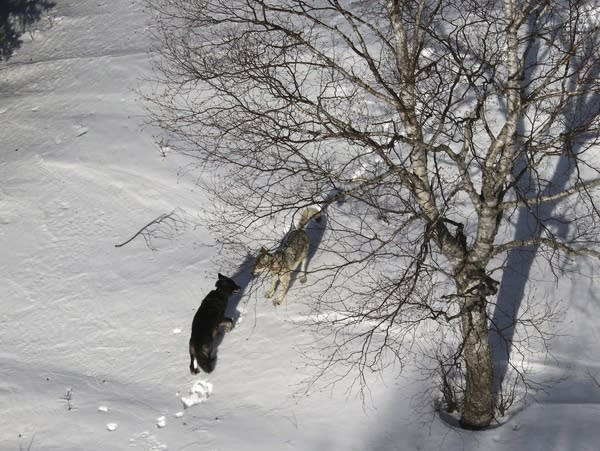 A gray female wolf, right, courts a black male wolf.