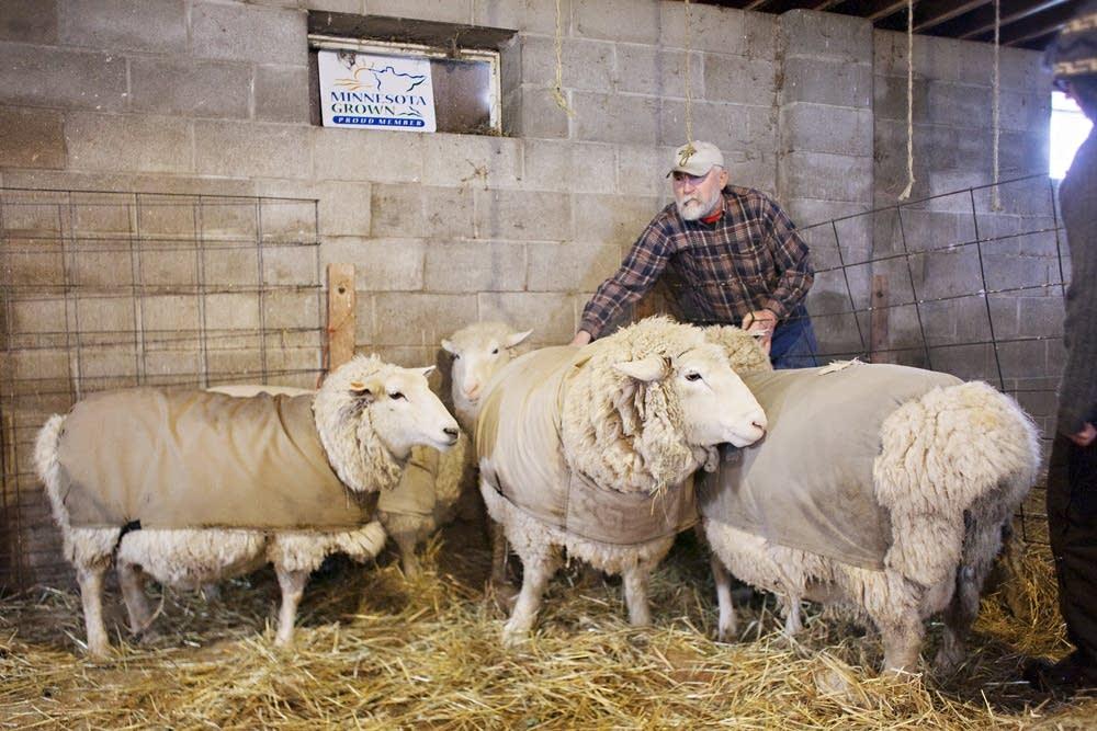 Tom Reinhart works to move a few ewes.