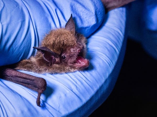 A bat protests with high-pitched squeaks.
