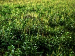 A patch of ragweed