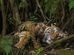 Tiger mother and cub.