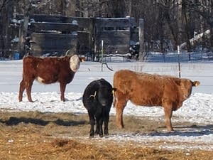 Cattle eat hay in a winter feedlot on the Steve Klopp ranch near Karlstad.