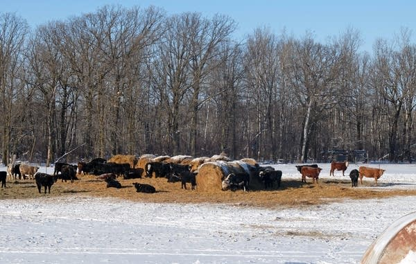 Cattle eat hay in a winter feedlot on the Steve Klopp ranch near Karlstad.