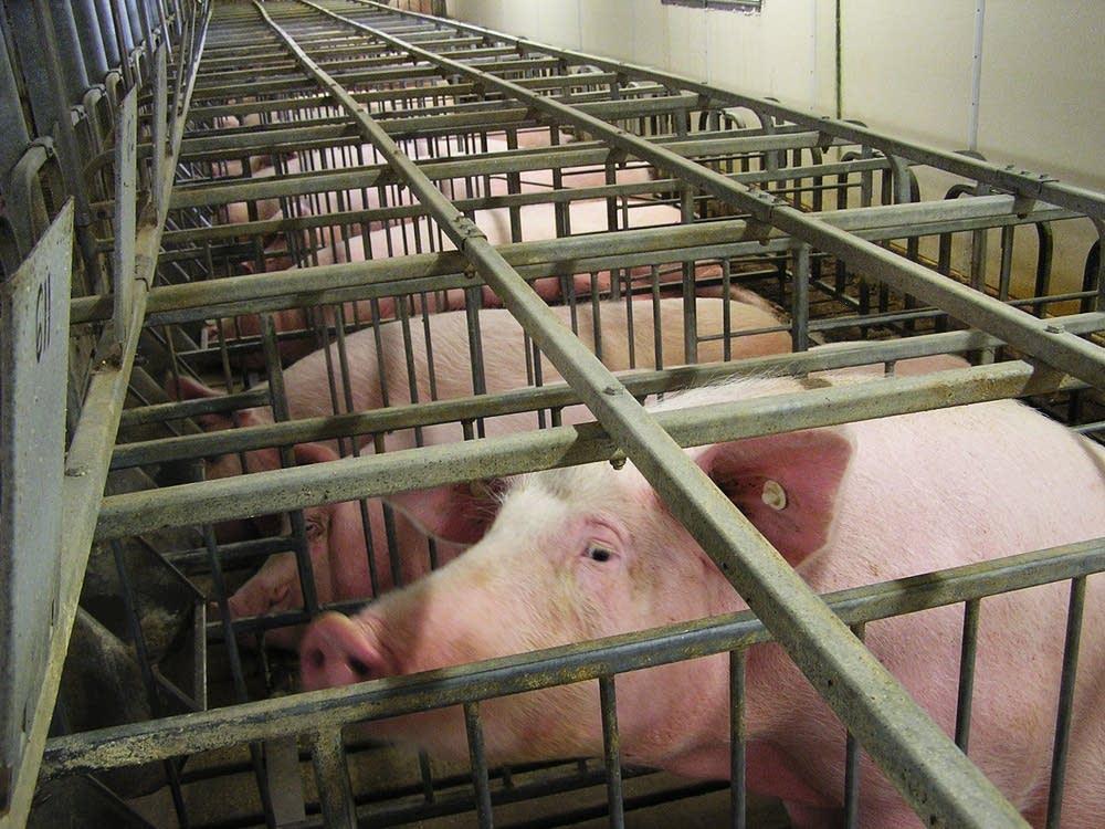 Hog stalls
