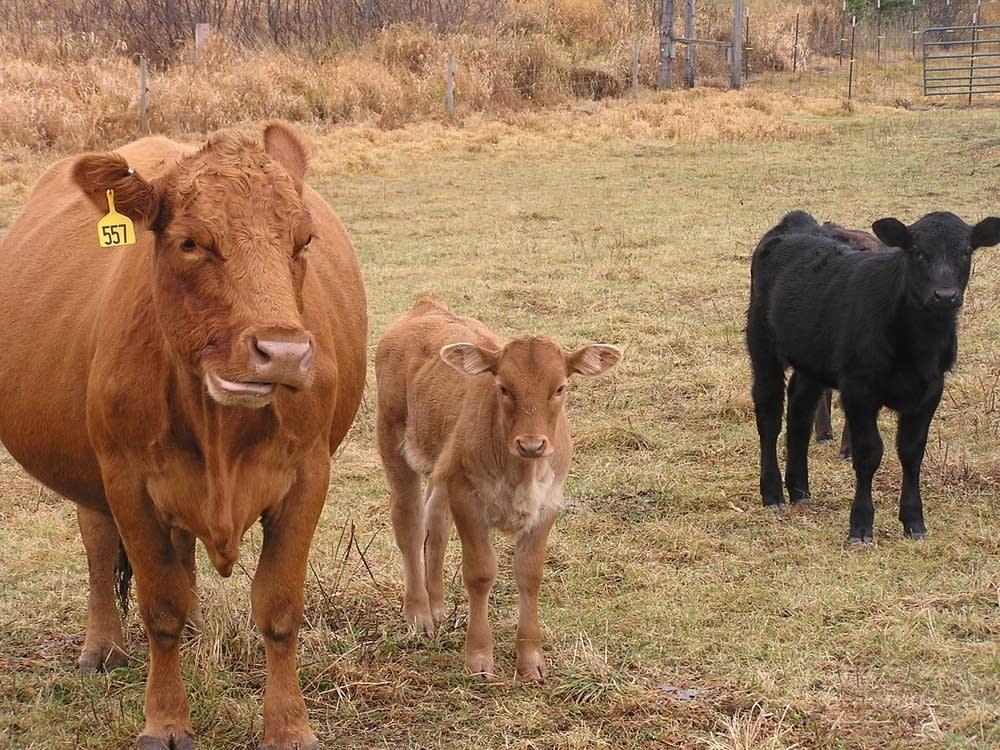 Cows graze