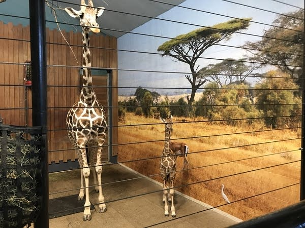 Penelope is the little giraffe on the right.