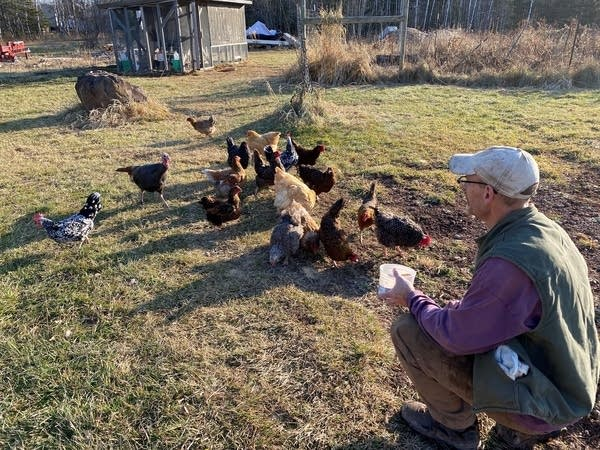 A man feeds his chickens and turkey.