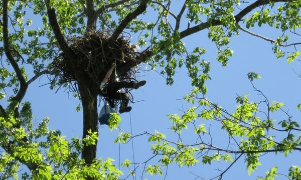 Professional tree climbers capture the eaglets