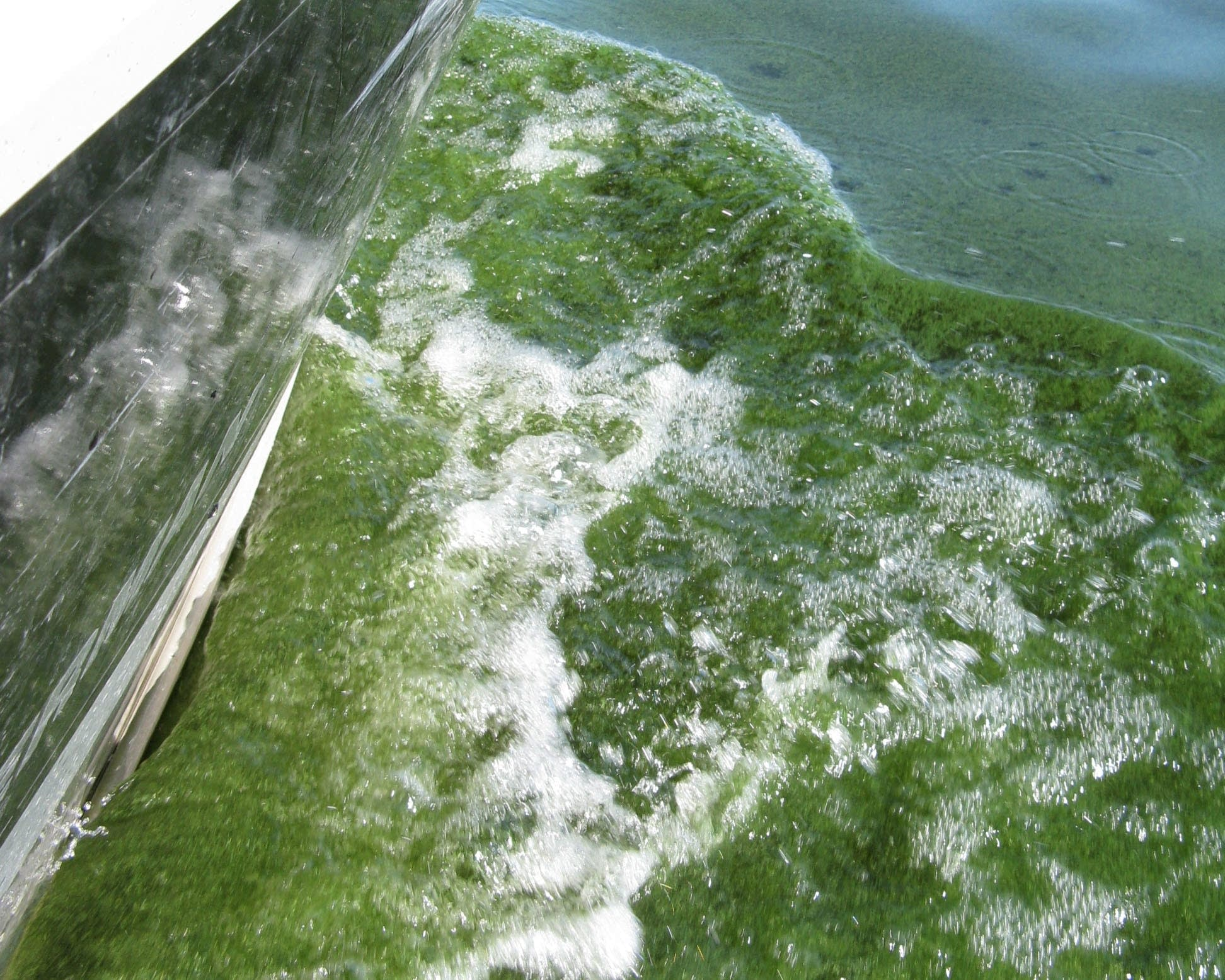 A boat cuts through a blue-green algal bloom.