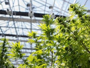 Medical marijuana greenhouse