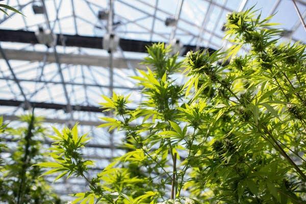 Medical marijuana greenhouse