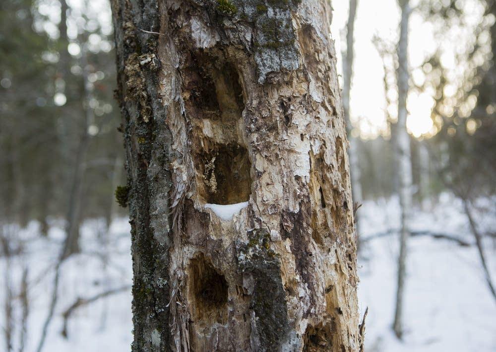 Dead aspen tree