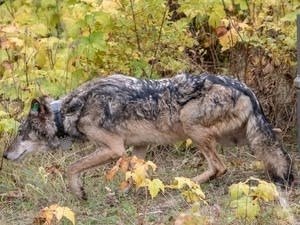 A female wolf emerges from her crate on Isle Royale National Park
