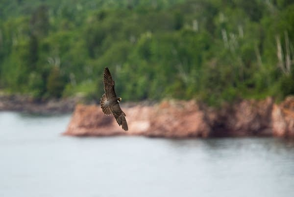 A peregrine falcon flies over Lake Superior near its nesting site.