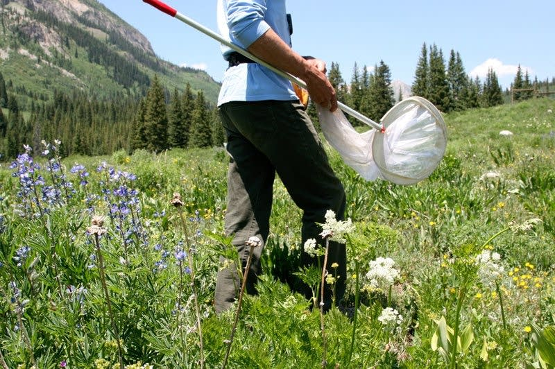 The bee team walk through meadows of purple lupines and other wildflowers.