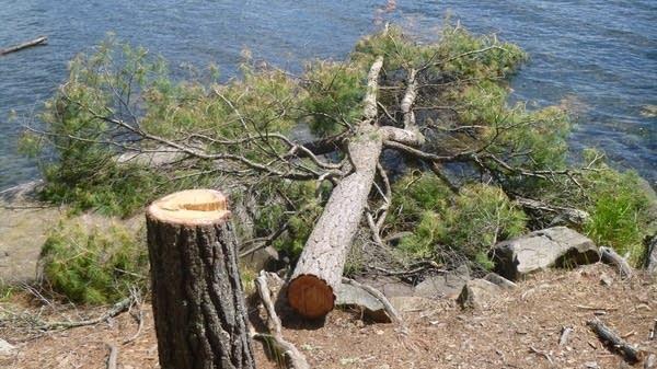 Tree cut down along BWCAW lake