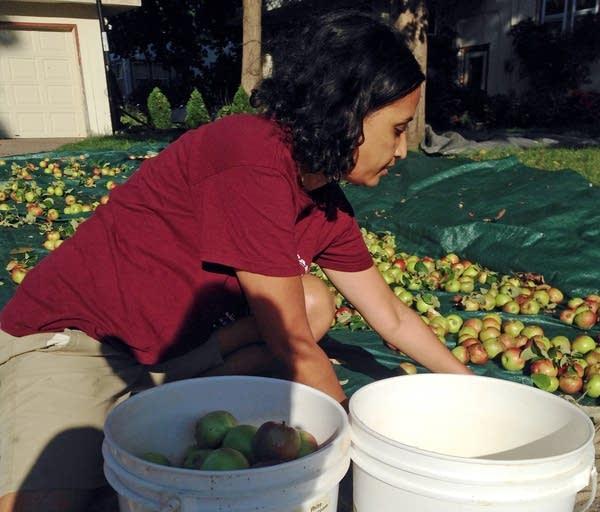 Gita Zeitler gathered apples in St. Paul.