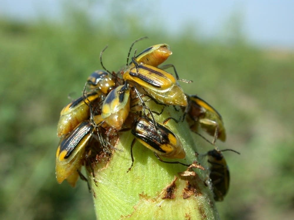 Western rootworm beetles