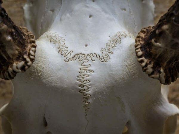 Cranial sutures weave across a cleaned deer skull.
