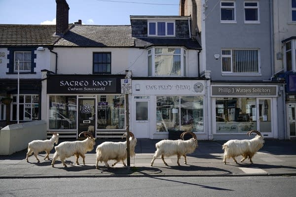 Goats roam Welsh town as coronavirus lockdown empties its streets.