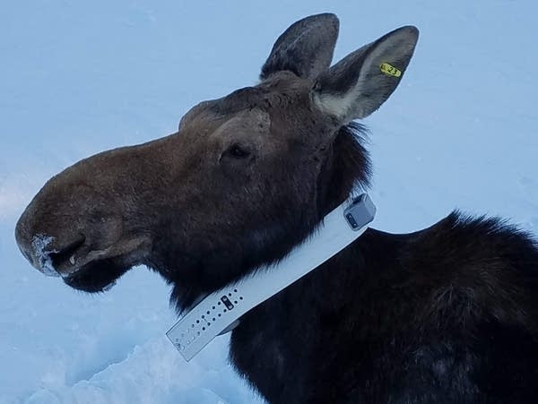 A moose is wearing a radio collar.