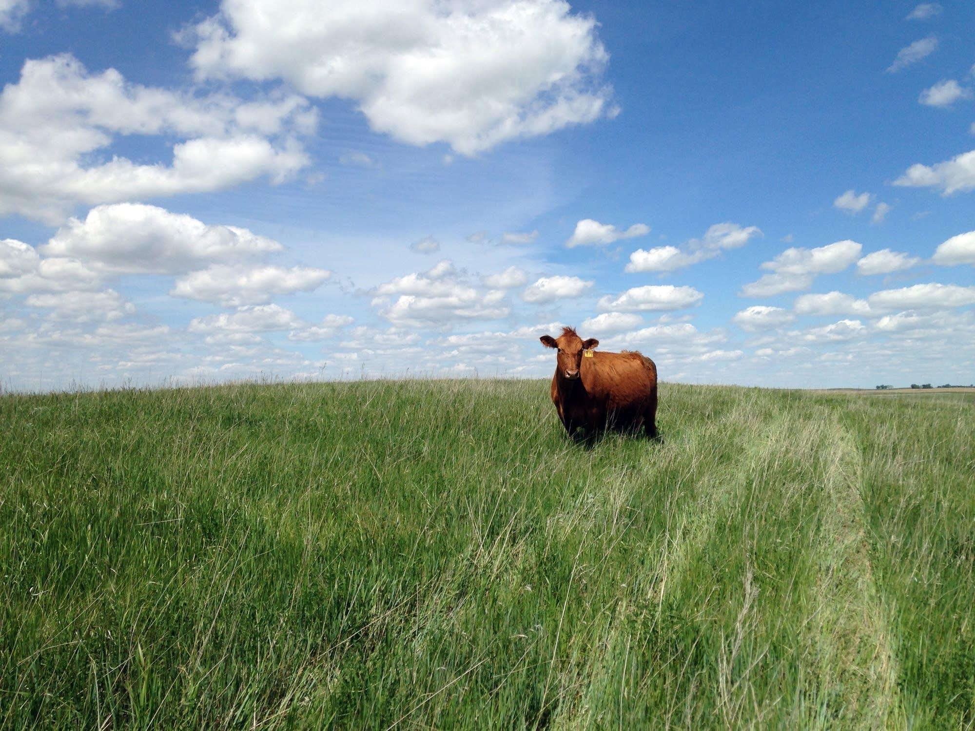 A cow grazes near Wing, North Dakota.