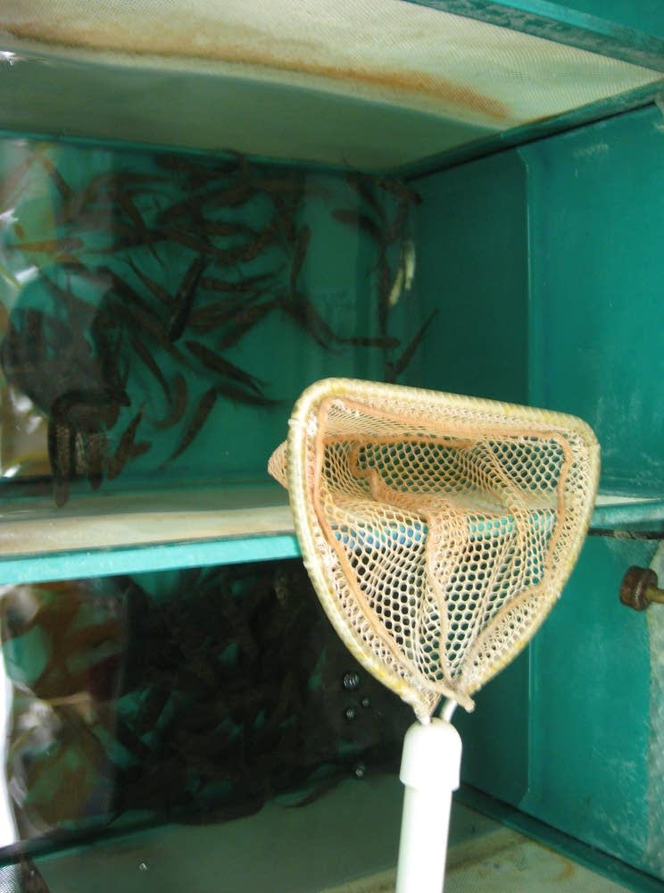 Live bait for sale in Cook, Minn.