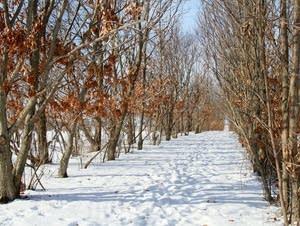 Chestnut trees line snowy pathways.