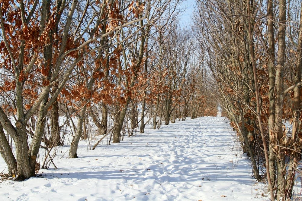 Chestnut trees line snowy pathways.