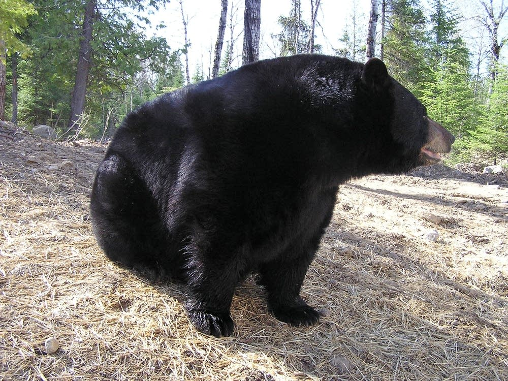 Black bear in Ely