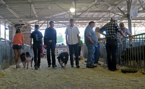Young people escort pigs around a show barn at the World Pork Expo.
